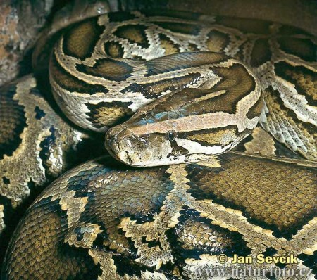 python_birman