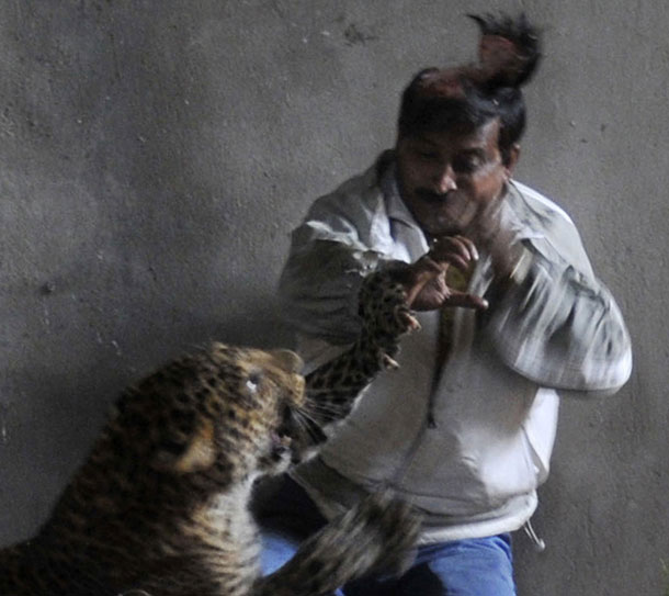 leopard_scalp_inde_photo