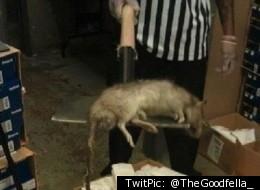 rat_geant_new-york