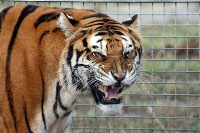 tigre_doigt