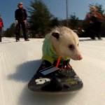 Ratatouille-The-Snowboarding-Opossum