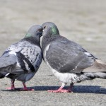 pigeons_chasse_italie_come