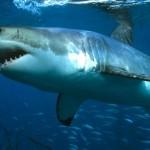 1309537-Requin