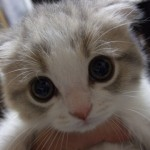 cute-scottish-fold-kitten-4