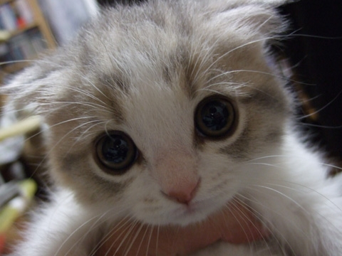 cute-scottish-fold-kitten-4