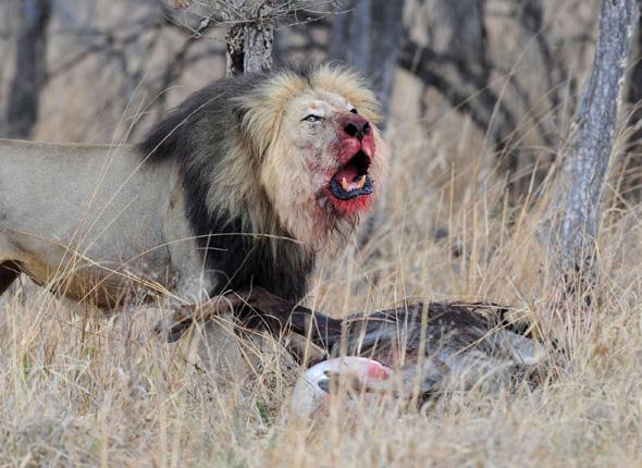 article_lion