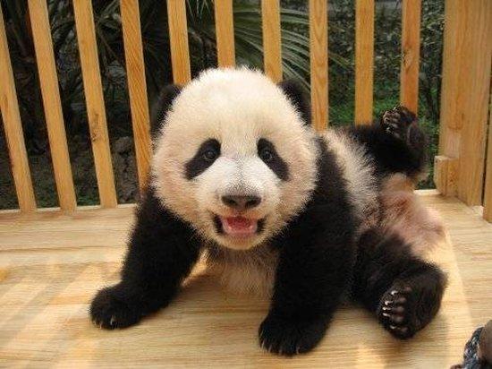 bébé panda zoo