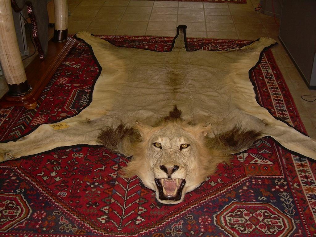 tete-lion-empaillee-vol-tacoma-washington-drogue-cocaine