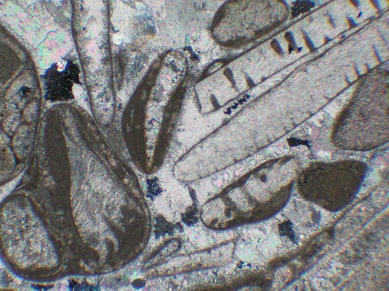 Spermatozoides_Fossiles_microscopiques_Australie